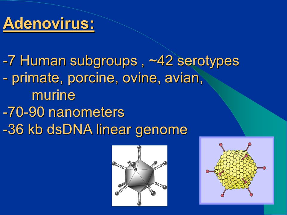 Adenovirus: -7 Human subgroups, ~42 serotypes - primate, porcine, ovine, avian, murine -70-90 nanometers -36 kb dsDNA linear genome