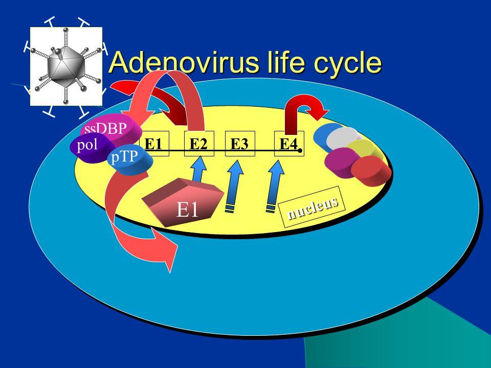 nucleus Adenovirus life cycle E2E3E4E1 ssDBP pol pTP