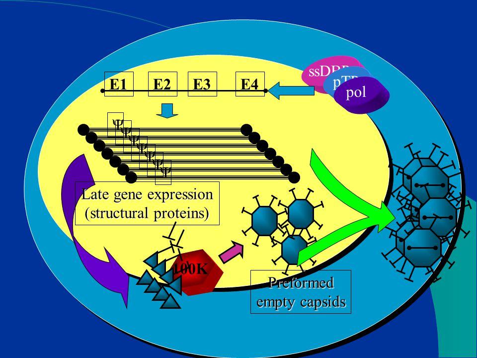 E2E3E4E1 ssDBP pTP pol 100K Late gene expression (structural proteins) Preformed empty capsids Ψ Ψ Ψ Ψ Ψ Ψ Ψ