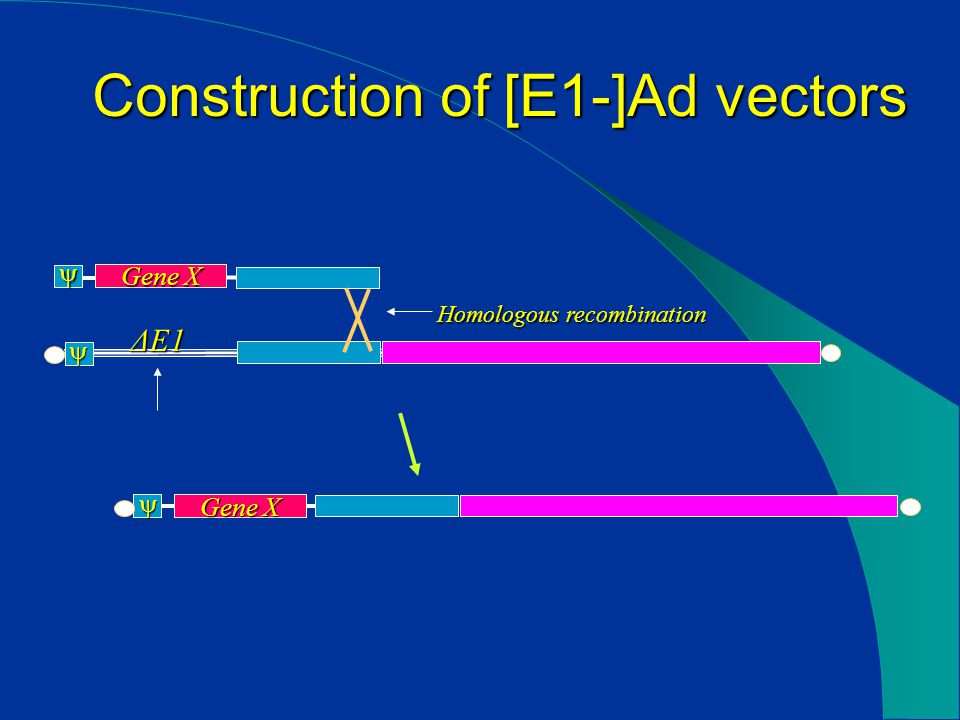 Construction of [E1-]Ad vectors  Gene X   ΔE1 Homologous recombination