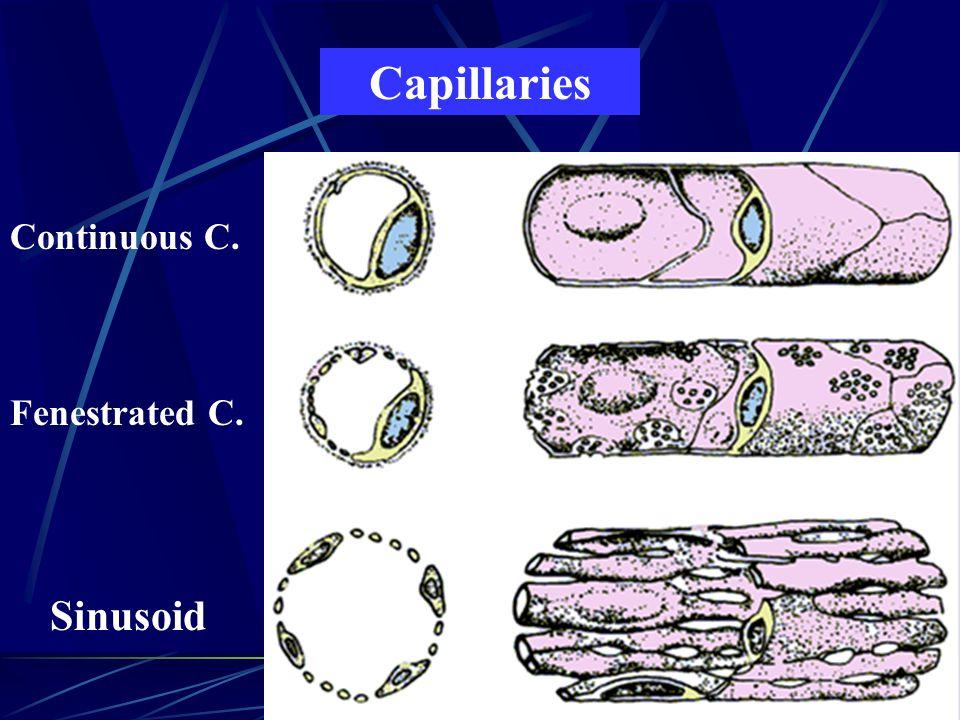 Capillaries Continuous C. Fenestrated C. Sinusoid
