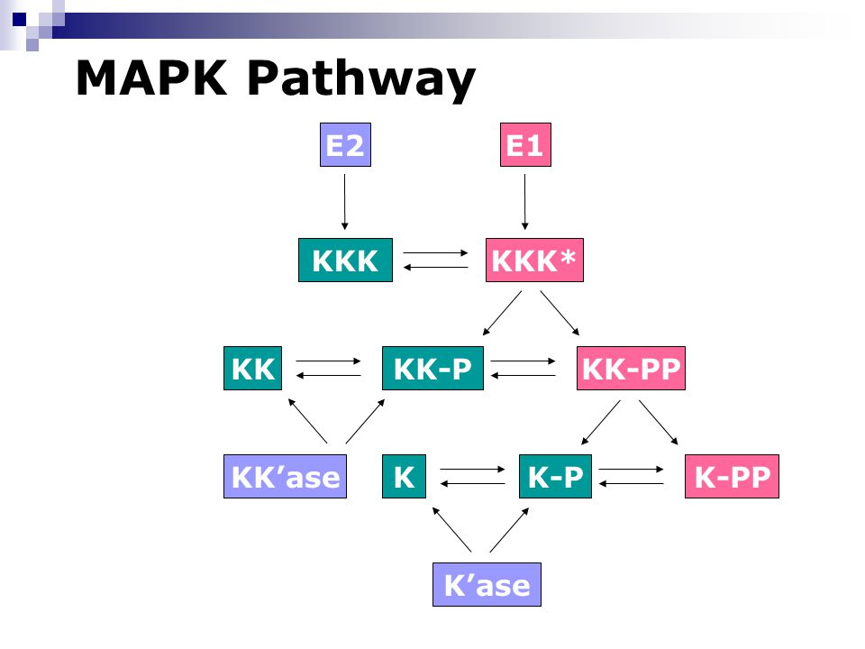 MAPK Pathway K-PP KK-PP KKK*KKK E1E2 KKKK-P KK-PKK'ase K'ase