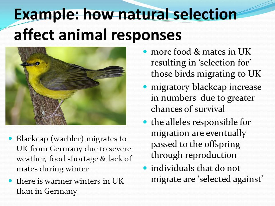 Example: how natural selection affect animal responses Blackcap (warbler) migrates to UK from Germany due to severe weather, food shortage & lack of mates during winter there is warmer winters in UK than in Germany more food & mates in UK resulting in 'selection for' those birds migrating to UK migratory blackcap increase in numbers due to greater chances of survival the alleles responsible for migration are eventually passed to the offspring through reproduction individuals that do not migrate are 'selected against'