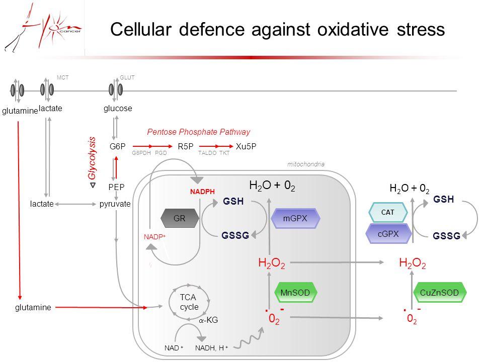 mitochondria Cellular defence against oxidative stress.02-.02- H2O2H2O2 MnSOD.02-.02- CuZnSOD mGPX H 2 O + 0 2 CAT cGPX GSH GSSG GSH GSSG GR NADPH NADP + lactateglucose GLUTMCT G6P R5P Xu5P Pentose Phosphate Pathway PEP pyruvatelactate Glycolysis G6PDH PGD TALDO TKT TCA cycle  -KG NAD + NADH, H + H2O2H2O2 glutamine