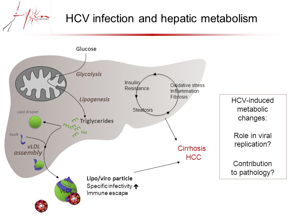 Lipogenesis Glucose Glycolysis ApoB Triglycerides Lipid droplet Specific infectivity  Immune escape HCV infection and hepatic metabolism vLDL Cirrhosis HCC HCV-induced metabolic changes: Role in viral replication.