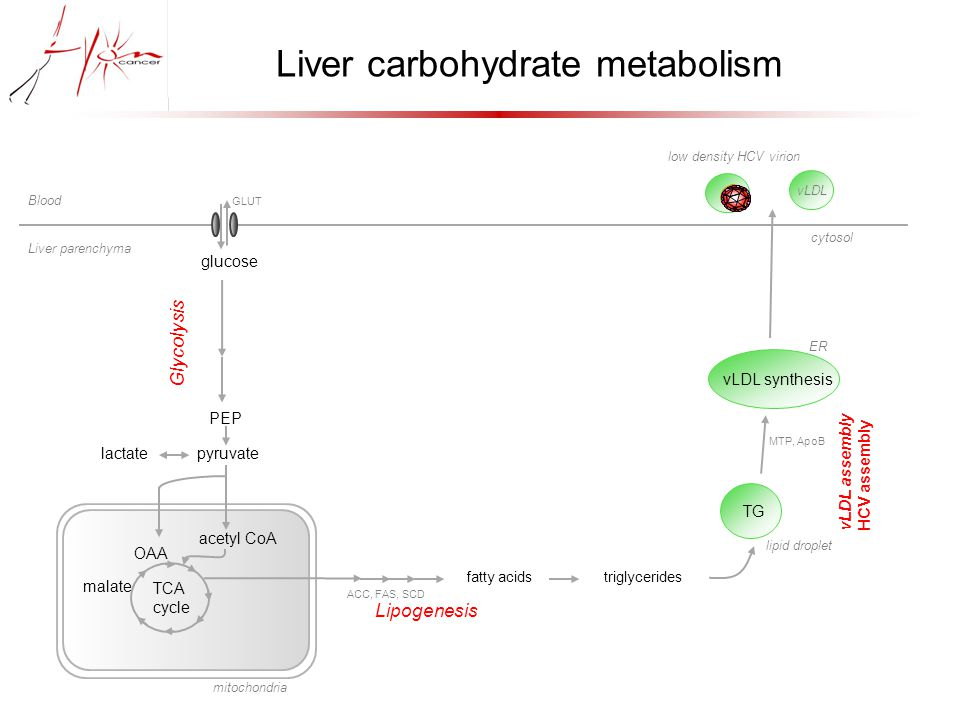 glucose GLUT PEP lactate pyruvate Glycolysis acetyl CoA TCA cycle mitochondria fatty acids triglycerides Lipogenesis ACC, FAS, SCD TG lipid droplet vLDL synthesis ER MTP, ApoB vLDL cytosol vLDL assembly HCV assembly low density HCV virion Liver carbohydrate metabolism malate OAA Blood Liver parenchyma