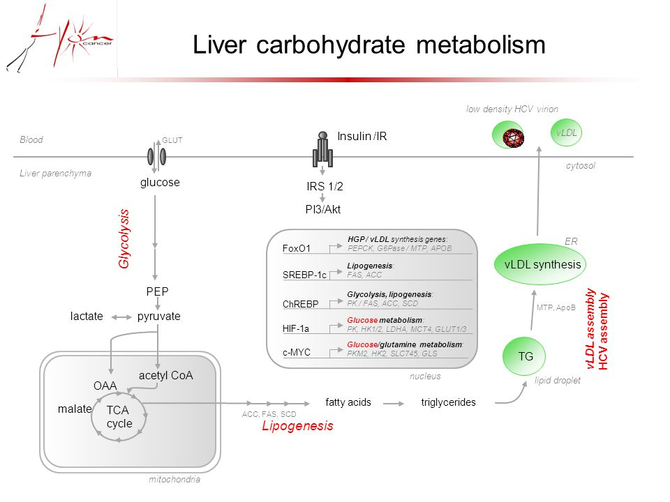 glucose GLUT PEP lactate pyruvate Glycolysis acetyl CoA TCA cycle mitochondria fatty acids triglycerides Lipogenesis ACC, FAS, SCD TG lipid droplet vLDL synthesis ER MTP, ApoB vLDL cytosol vLDL assembly HCV assembly low density HCV virion Liver carbohydrate metabolism malate OAA Insulin /IR IRS 1/2 PI3/Akt FoxO1 nucleus HGP / vLDL synthesis genes: PEPCK, G6Pase / MTP, APOB Lipogenesis: FAS, ACC Glycolysis, lipogenesis: PK / FAS, ACC, SCD Glucose metabolism: PK, HK1/2, LDHA, MCT4, GLUT1/3 Glucose/glutamine metabolism: PKM2, HK2, SLC745, GLS SREBP-1c ChREBP HIF-1a c-MYC Blood Liver parenchyma