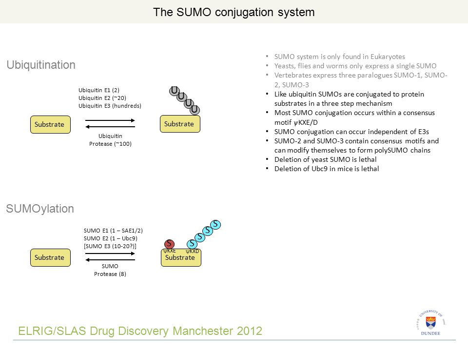 ELRIG/SLAS Drug Discovery Manchester 2012 The SUMO conjugation system Ubiquitination Substrate Ubiquitin E1 (2) Ubiquitin E2 (~20) Ubiquitin E3 (hundreds) U U U U Substrate Ubiquitin Protease (~100) S S S S S SUMOylation SUMO E1 (1 – SAE1/2) SUMO E2 (1 – Ubc9) [SUMO E3 (10-20 )] SUMO Protease (8) Substrate SUMO system is only found in Eukaryotes Yeasts, flies and worms only express a single SUMO Vertebrates express three paralogues SUMO-1, SUMO- 2, SUMO-3 Like ubiquitin SUMOs are conjugated to protein substrates in a three step mechanism Most SUMO conjugation occurs within a consensus motif  KXE/D SUMO conjugation can occur independent of E3s SUMO-2 and SUMO-3 contain consensus motifs and can modify themselves to form polySUMO chains Deletion of yeast SUMO is lethal Deletion of Ubc9 in mice is lethal  KXE  KXD