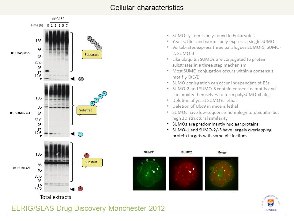 ELRIG/SLAS Drug Discovery Manchester 2012 Molecular functions of SUMO S S S S S SUMOylation SUMO E1 (1 – SAE1/2) SUMO E2 (1 – Ubc9) [SUMO E3 (10-20?)] SUMO Protease (8) Substrate SUMO BP polySUMO BP Substrate S S S S S S S Subcellular localisation Enzymatic activity Complex formation Further modification Block modifications Altered function SUMO system is only found in Eukaryotes Yeasts, flies and worms only express a single SUMO Vertebrates express three paralogues SUMO-1, SUMO- 2, SUMO-3 Like ubiquitin SUMOs are conjugated to protein substrates in a three step mechanism Most SUMO conjugation occurs within a consensus motif  KXE/D SUMO conjugation can occur independent of E3s SUMO-2 and SUMO-3 contain consensus motifs and can modify themselves to form polySUMO chains Deletion of yeast SUMO is lethal Deletion of Ubc9 in mice is lethal SUMOs have low sequence homology to ubiquitin but high 3D structural similarity SUMOs are predominantly nuclear proteins SUMO-1 and SUMO-2/-3 have largely overlapping protein targets with some distinctions SUMO conjugation does not have a common effect on proteins, but has myriad of protein-specific consequences mediated by SUMO Interaction Motifs (SIMS)