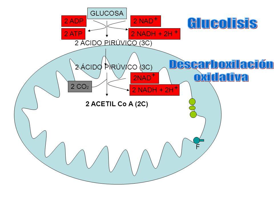 GLUCOSA 2 ÁCIDO PIRÚVICO (3C) 2 ACETIL Co A (2C) 2 NADH + 2H + 2 CO 2 2 NADH + 2H + 2 NAD + + 2 ADP 2 ATP F 2 ÁCIDO PIRÚVICO (3C)