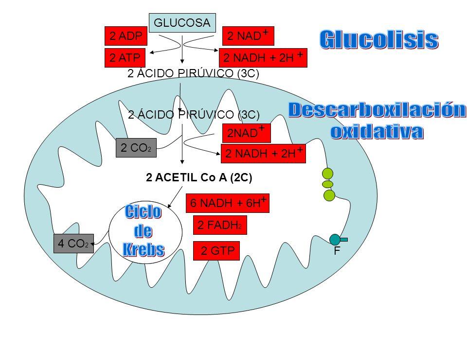 GLUCOSA 2 ÁCIDO PIRÚVICO (3C) 2 ACETIL Co A (2C) 2 FADH 2 6 NADH + 6H + 2 GTP 2 NADH + 2H + 2 CO 2 2 NADH + 2H + 2 NAD + + 2 ADP 2 ATP 4 CO 2 F 2 ÁCID