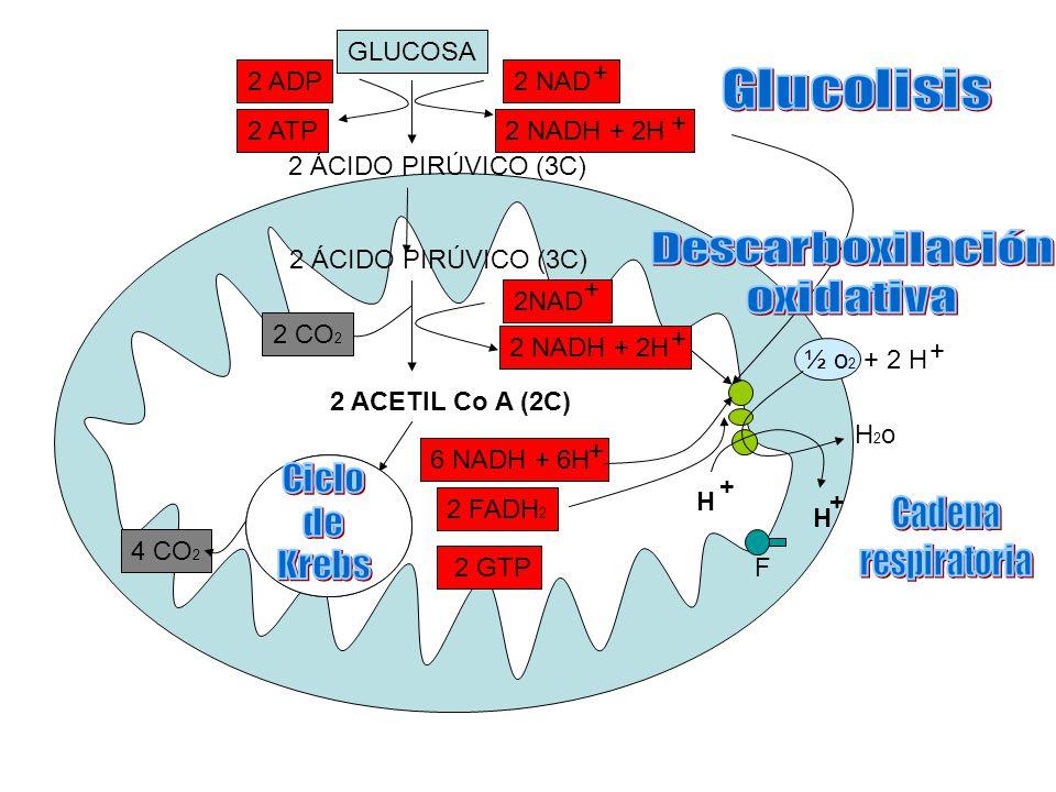 GLUCOSA 2 ÁCIDO PIRÚVICO (3C) 2 ACETIL Co A (2C) 2 FADH 2 6 NADH + 6H + 2 GTP 2 NADH + 2H + 2 CO 2 2 NADH + 2H + 2 NAD + + 2 ADP 2 ATP 4 CO 2 ½ o 2 + 2 H + H2oH2o H + F + H 2 ÁCIDO PIRÚVICO (3C)