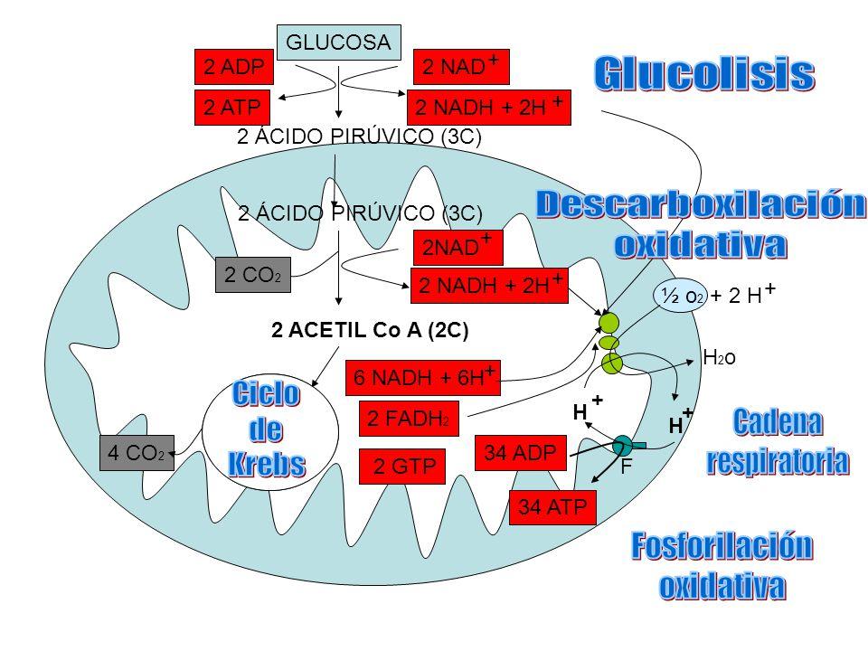 GLUCOSA 2 ÁCIDO PIRÚVICO (3C) 2 ACETIL Co A (2C) 2 FADH 2 6 NADH + 6H + 2 GTP 2 NADH + 2H + 2 CO 2 2 NADH + 2H + 2 NAD + + 2 ADP 2 ATP 4 CO 2 ½ o 2 + 2 H + H2oH2o H + F 34 ADP 34 ATP + H 2 ÁCIDO PIRÚVICO (3C)