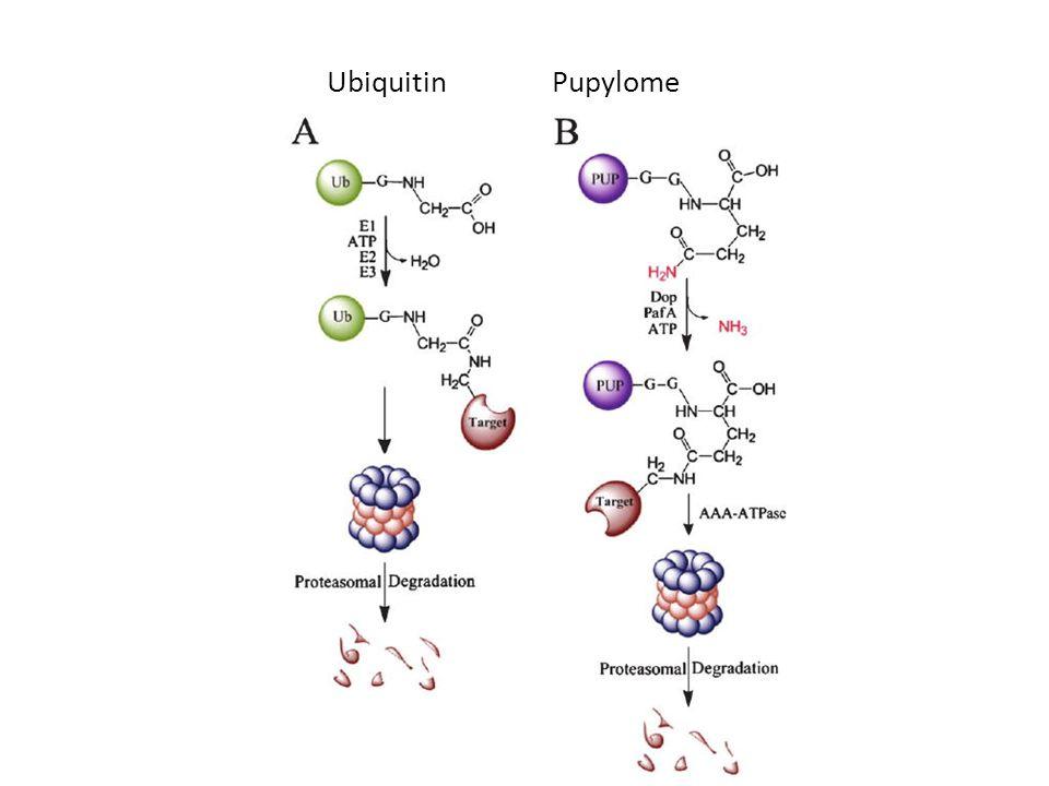 UbiquitinPupylome