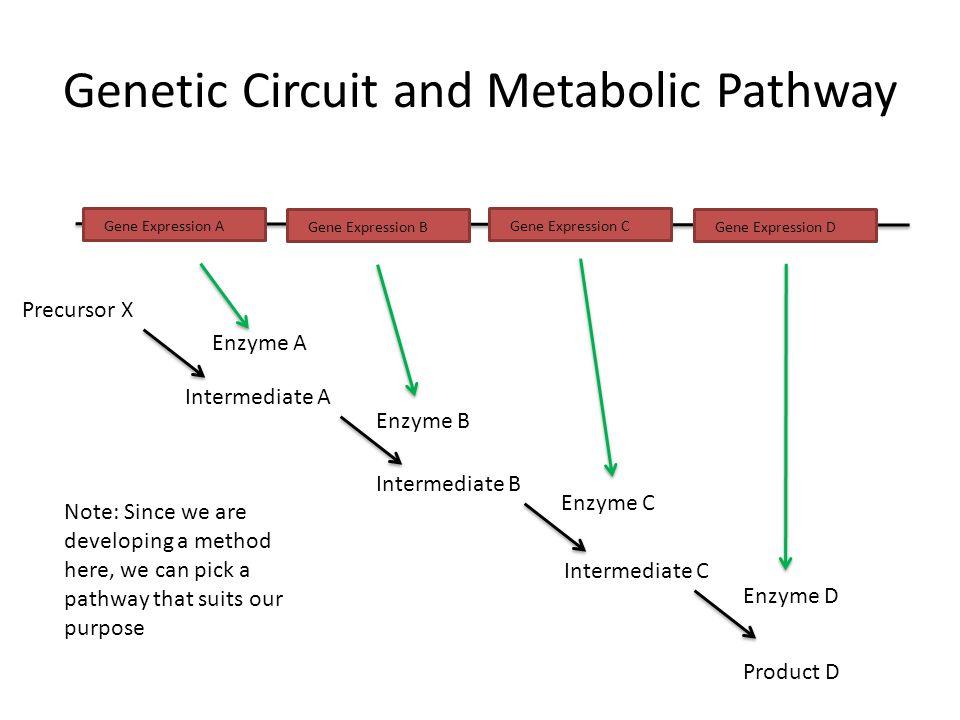 Genetic Circuit and Metabolic Pathway Gene Expression A Gene Expression B Gene Expression C Gene Expression D Precursor X Intermediate A Intermediate