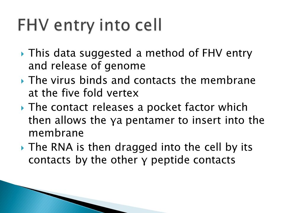  This data suggested a method of FHV entry and release of genome  The virus binds and contacts the membrane at the five fold vertex  The contact releases a pocket factor which then allows the γa pentamer to insert into the membrane  The RNA is then dragged into the cell by its contacts by the other γ peptide contacts