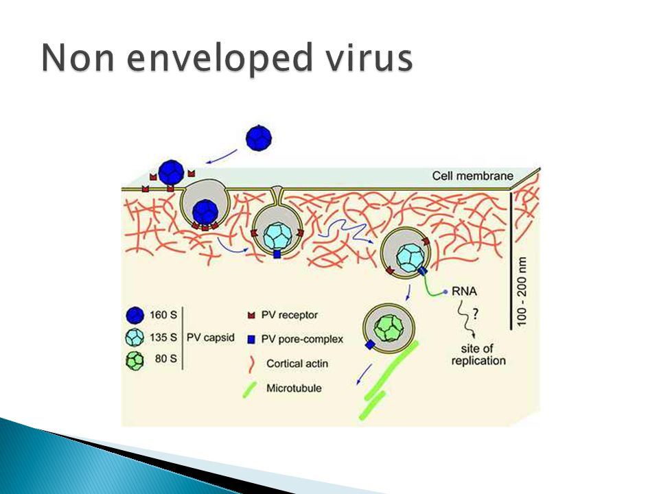  The genome of the virus is released in order to make viral proteins and reproduce the genome.