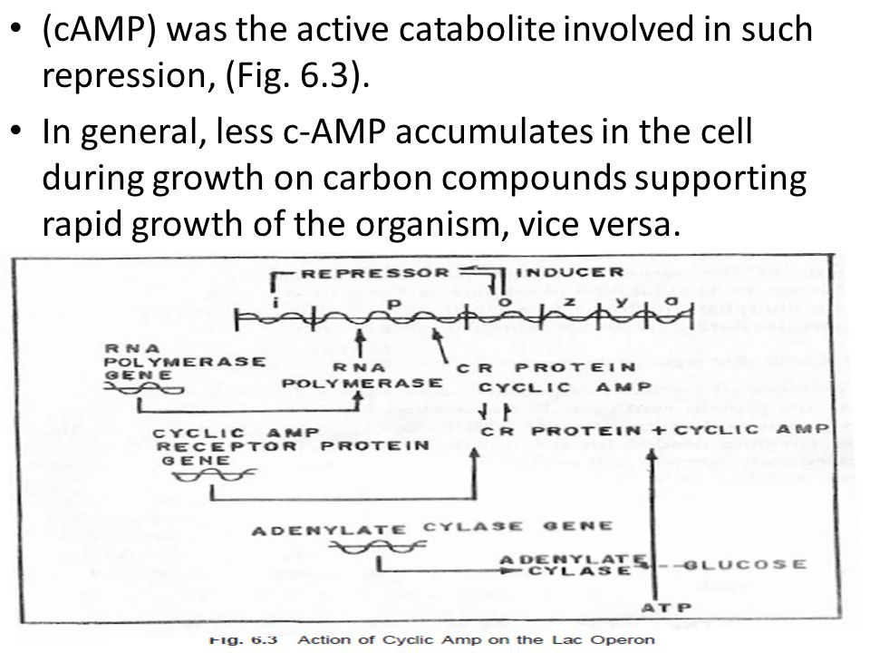 (cAMP) was the active catabolite involved in such repression, (Fig.