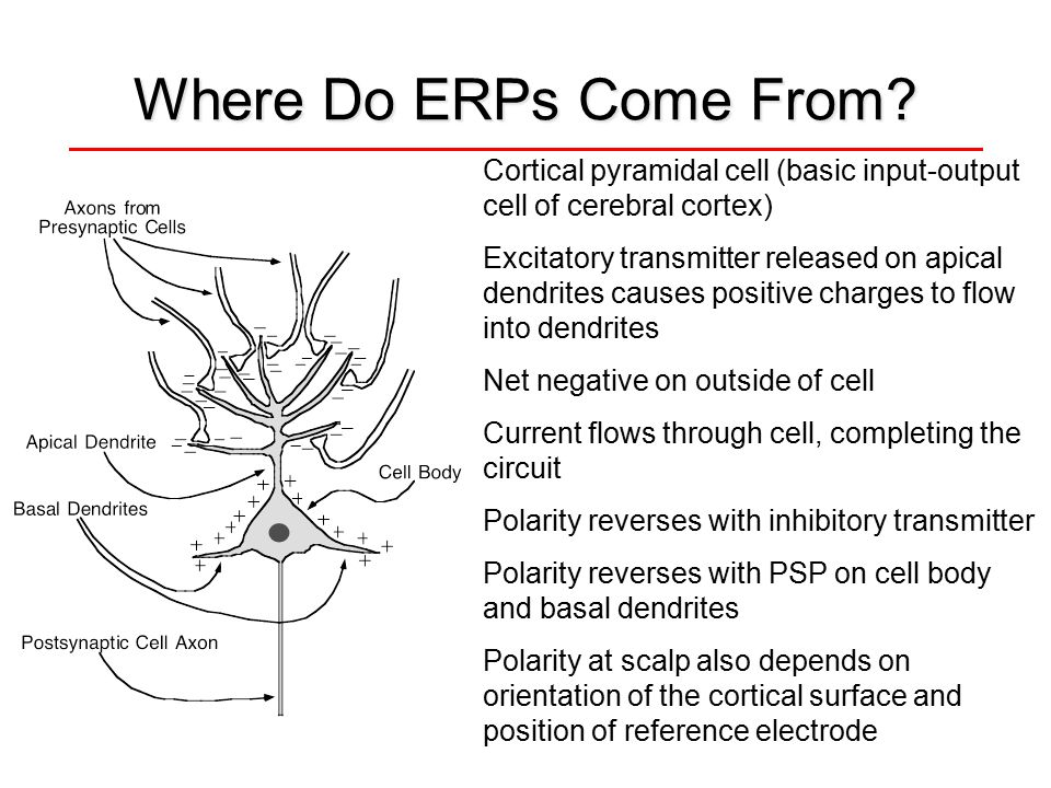 Where Do ERPs Come From? Cortical pyramidal cell (basic input-output cell of cerebral cortex) Excitatory transmitter released on apical dendrites caus