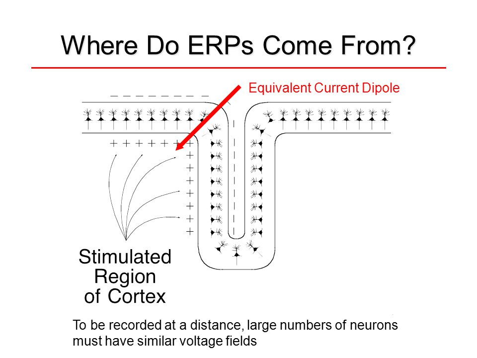 Where Do ERPs Come From? To be recorded at a distance, large numbers of neurons must have similar voltage fields Equivalent Current Dipole