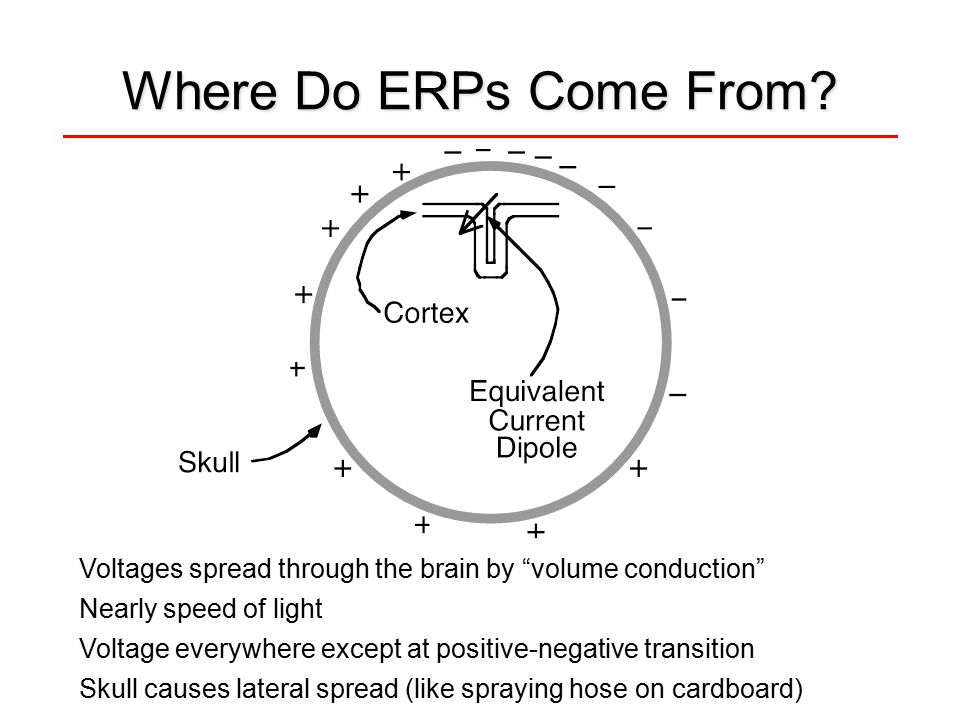 "Where Do ERPs Come From? Voltages spread through the brain by ""volume conduction"" Nearly speed of light Voltage everywhere except at positive-negative"