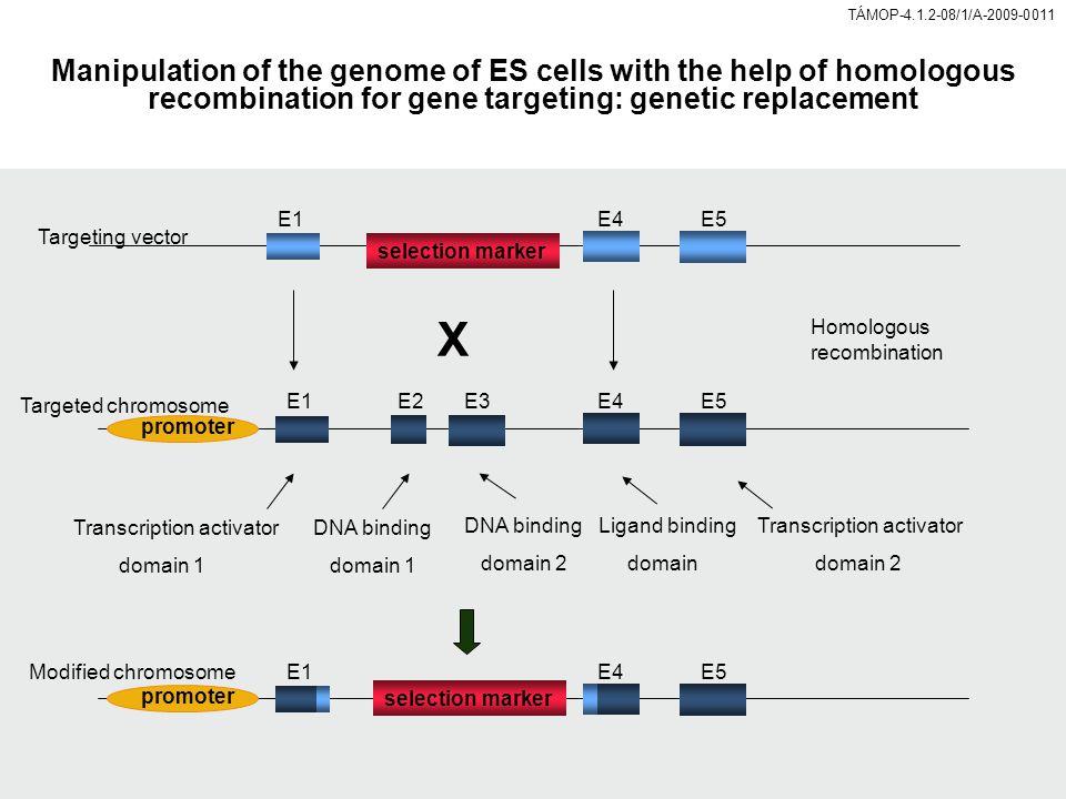 promoter E1E2E3E4E5 E1E4E5 Transcription activator domain 1 Transcription activator domain 2 DNA binding domain 1 DNA binding domain 2 Ligand binding