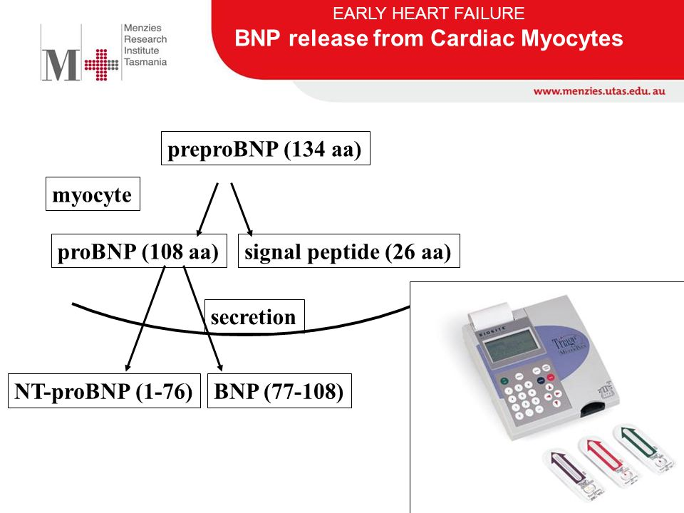 myocyte preproBNP (134 aa) proBNP (108 aa)signal peptide (26 aa) secretion NT-proBNP (1-76)BNP (77-108) EARLY HEART FAILURE BNP release from Cardiac M