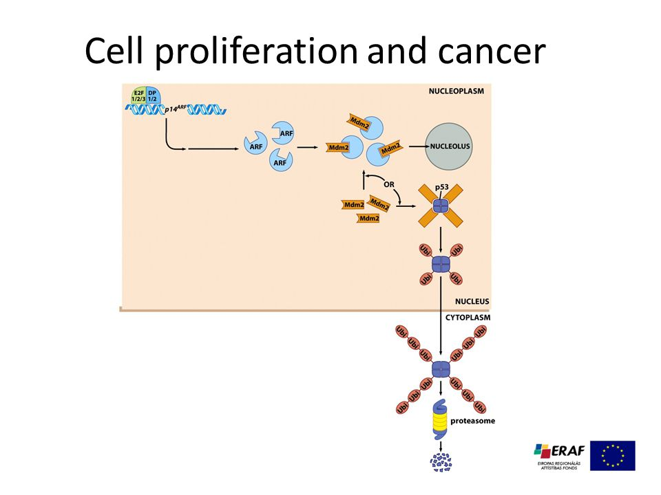 Cell proliferation and cancer