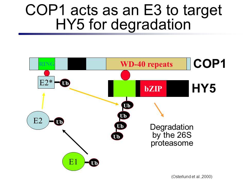COP1 acts as an E3 to target HY5 for degradation RING CoilWD-40 repeats E2 Ub E1 Ub E2* bZIP Degradation via 26S Proteasome COP1 HY5 Ub (Osterlund et