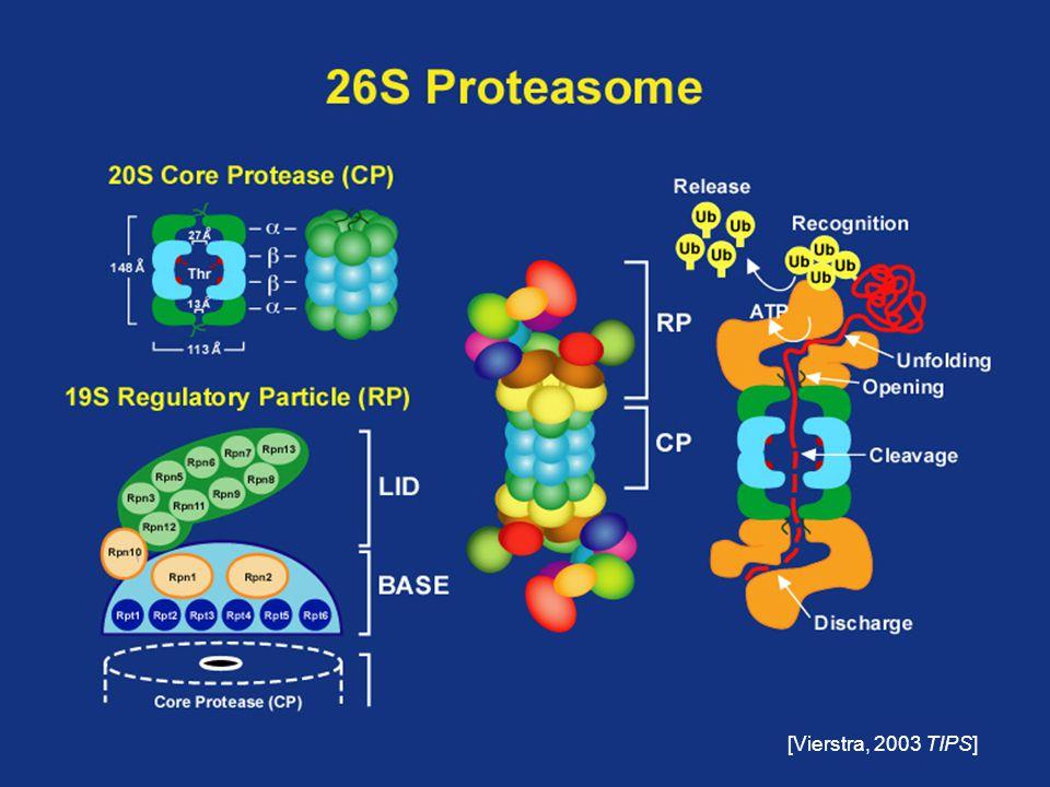 Ubiquitin/26S proteasome pathway Ub + ATP E1 E3 E2 Target Ub Target 26S proteasome UbiquitinationProteolysis + ATP Simplified