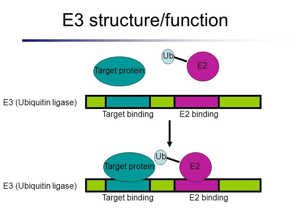 E3 structure/function E2 bindingTarget binding Ub E2 Target protein E2 bindingTarget binding Target protein Ub E2 E3 (Ubiquitin ligase)