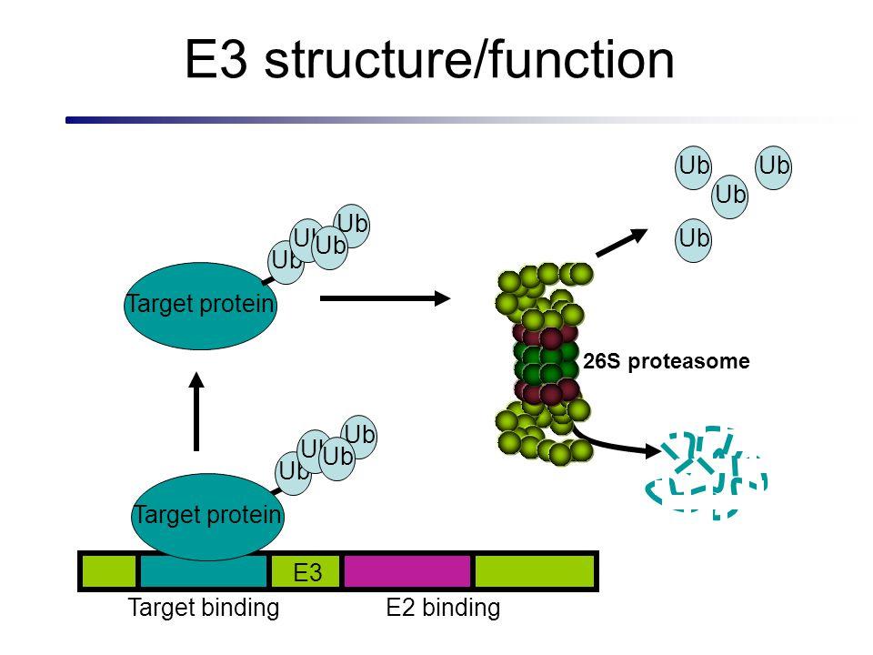 E3 structure/function Ub E2 bindingTarget binding Target protein E3 Ub Target protein Ub 26S proteasome Ub