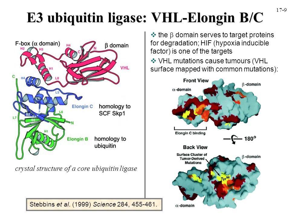 E3 ubiquitin ligase: VHL-Elongin B/C  the  domain serves to target proteins for degradation; HIF (hypoxia inducible factor) is one of the targets  VHL mutations cause tumours (VHL surface mapped with common mutations): crystal structure of a core ubiquitin ligase Stebbins et al.