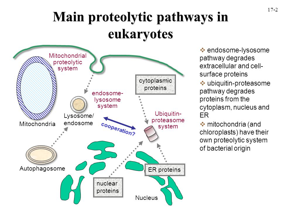 Main proteolytic pathways in eukaryotes  endosome-lysosome pathway degrades extracellular and cell- surface proteins  ubiquitin-proteasome pathway degrades proteins from the cytoplasm, nucleus and ER  mitochondria (and chloroplasts) have their own proteolytic system of bacterial origin Nucleus Autophagosome Lysosome/ endosome Ubiquitin- proteasome system nuclear proteins cytoplasmic proteins Mitochondria Mitochondrial proteolytic system ER proteins endosome- lysosome system cooperation.