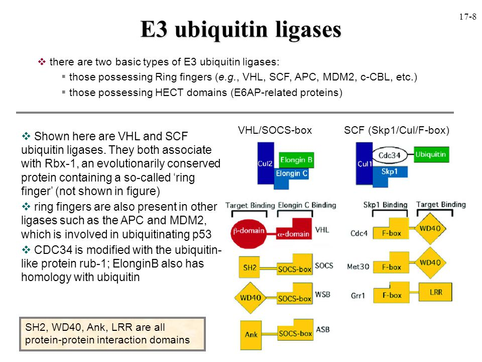 E3 ubiquitin ligases  Shown here are VHL and SCF ubiquitin ligases.