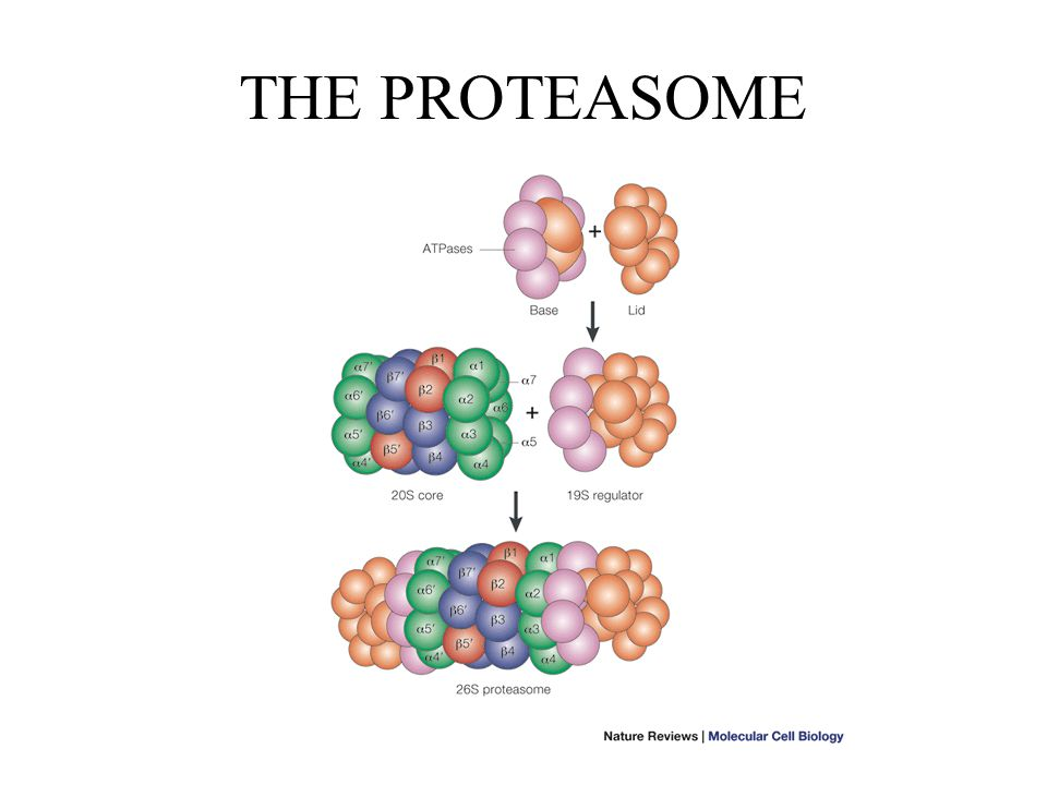 THE PROTEASOME