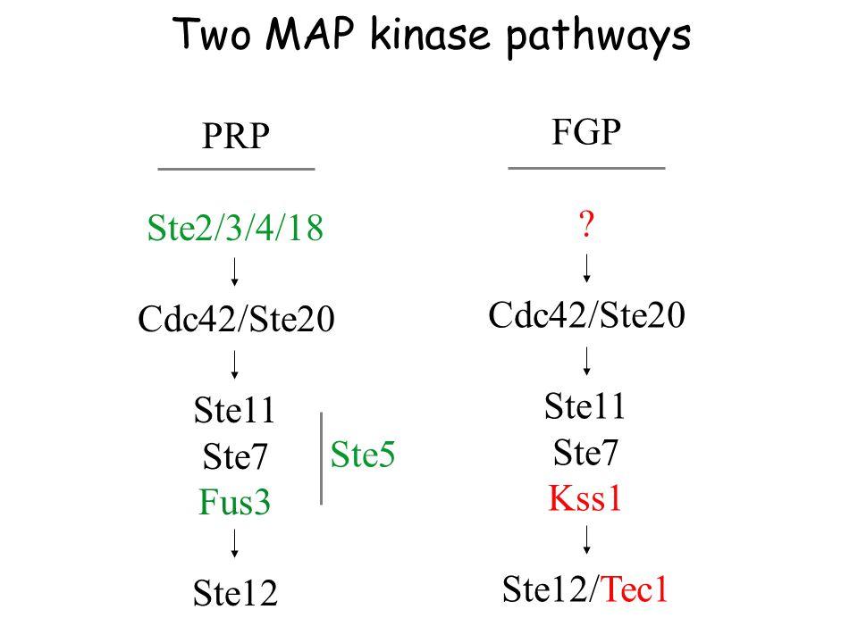 PRP Ste2/3/4/18 Cdc42/Ste20 Ste11 Ste7 Fus3 Ste12 Ste5 FGP .