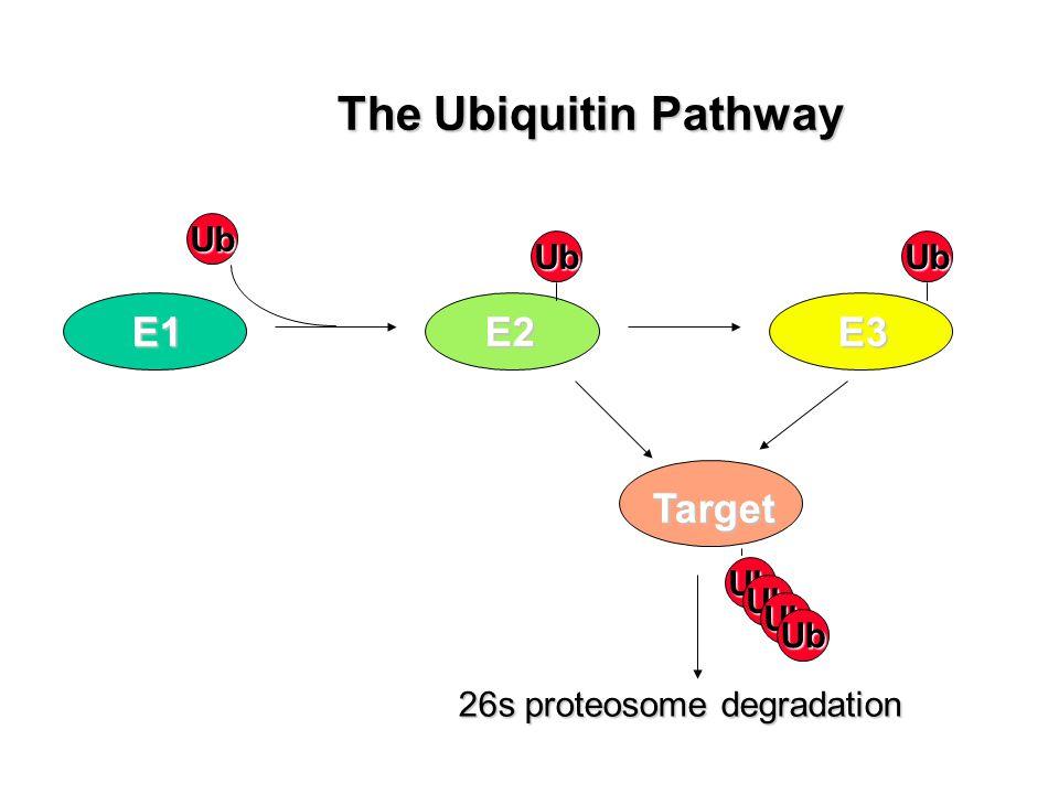 Ub E1 Ub E2 Ub E3 Ub 26s proteosome degradation Target The Ubiquitin Pathway Ub Ub Ub