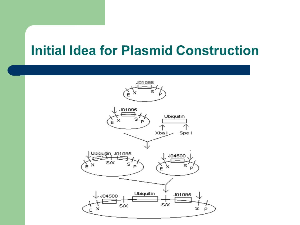 Initial Idea for Plasmid Construction