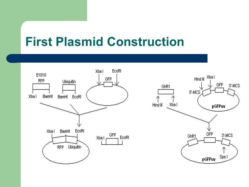 First Plasmid Construction