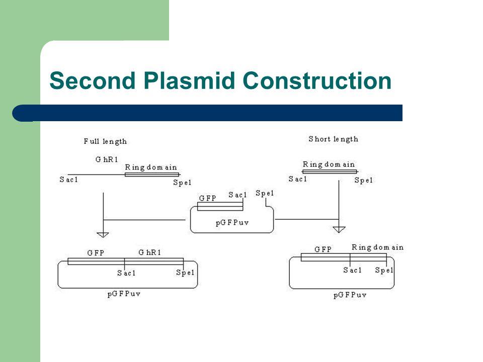 Second Plasmid Construction