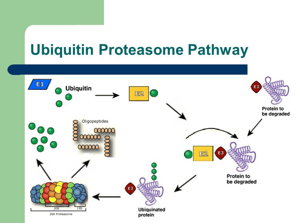 Ubiquitin Proteasome Pathway