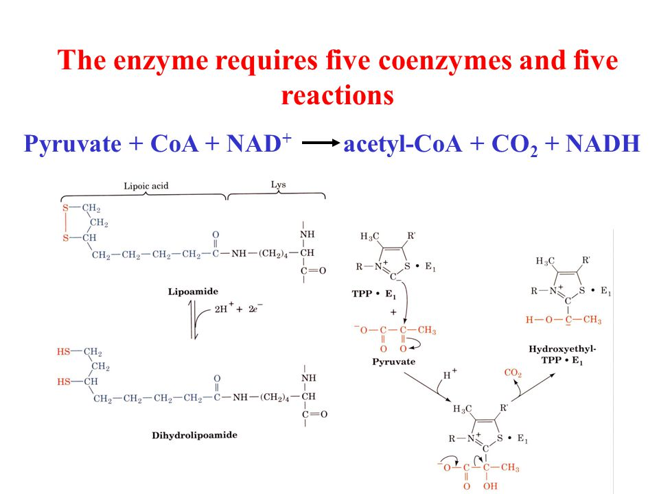 The enzyme requires five coenzymes and five reactions Pyruvate + CoA + NAD + acetyl-CoA + CO 2 + NADH