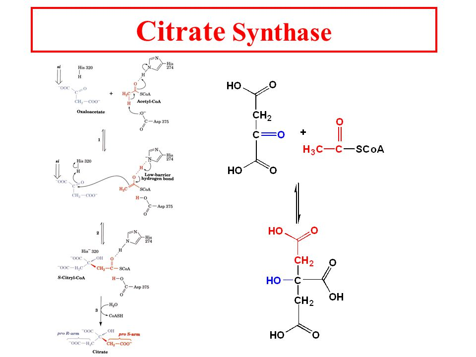 Citrate Synthase