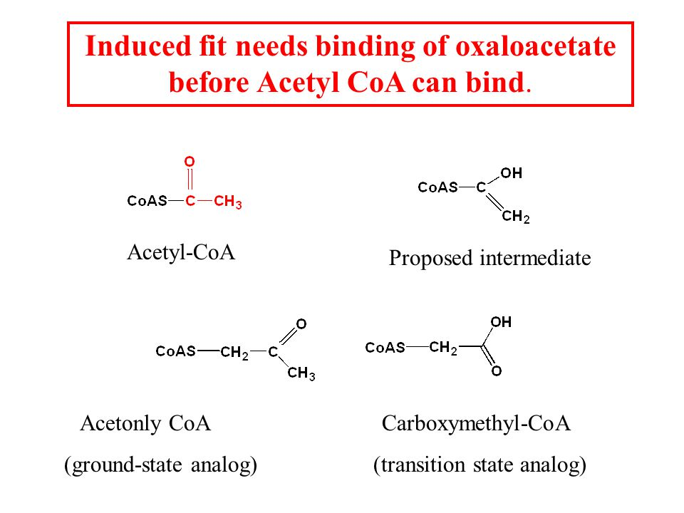 Induced fit needs binding of oxaloacetate before Acetyl CoA can bind.