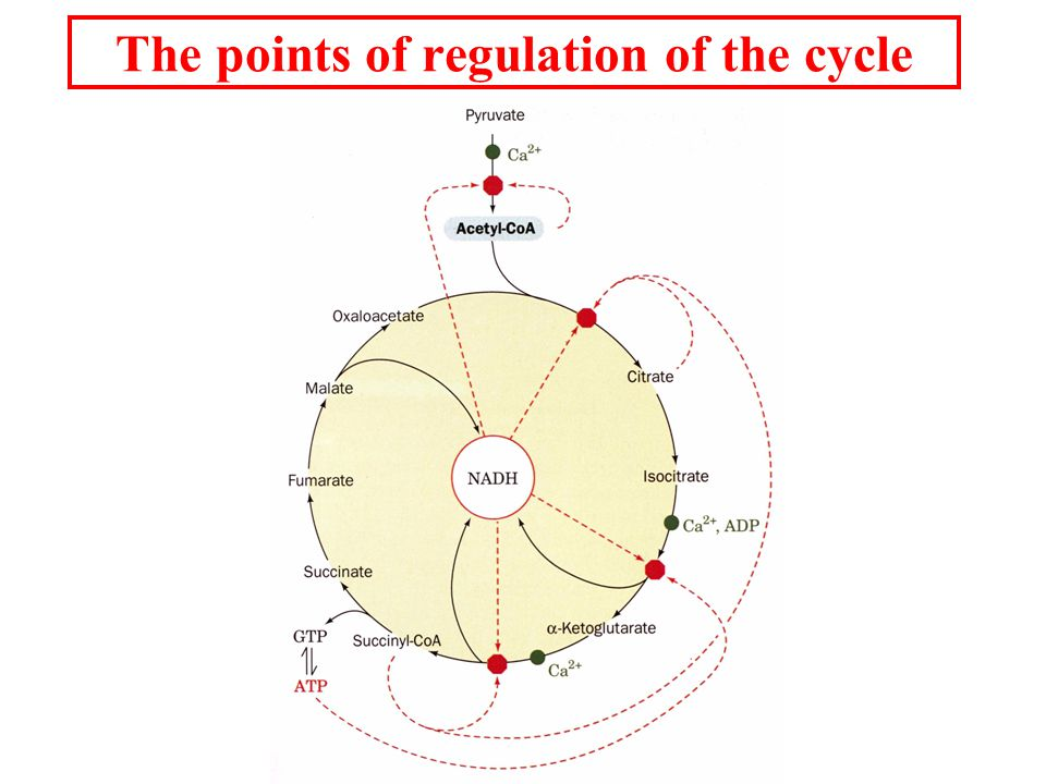 The points of regulation of the cycle