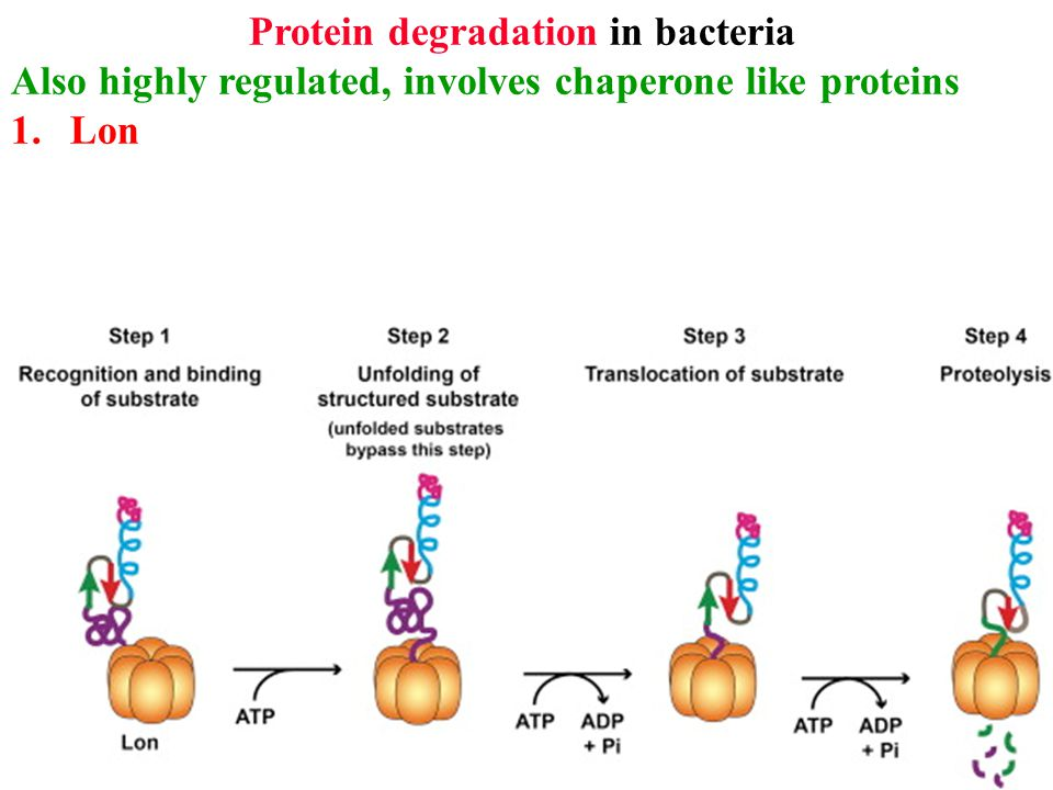 Protein degradation in bacteria Also highly regulated, involves chaperone like proteins 1.Lon 2.Clp