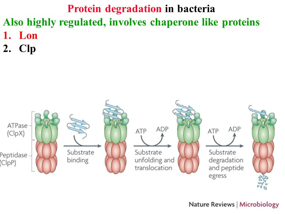 Protein degradation in bacteria Also highly regulated, involves chaperone like proteins 1.Lon 2.Clp 3.FtsH in IM