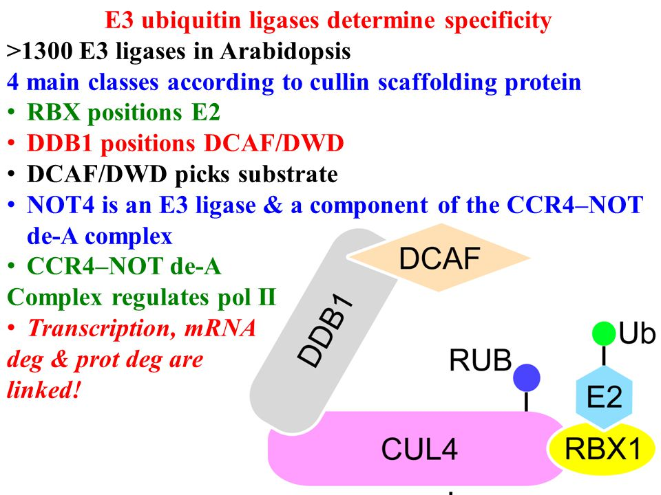 DWD Proteins Tested members of each subgroup for DDB1 binding co-immunoprecipitation