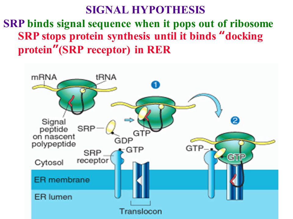 SIGNAL HYPOTHESIS SRP stops protein synthesis until it binds docking protein (SRP receptor) in RER Ribosome binds Translocon & secretes protein through it as it is made